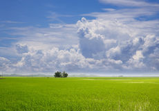 Padi field. A view at padi field capture in the morning royalty free stock photos