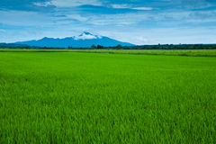 Padi Field. View of a padi field and mountain in the background royalty free stock photo