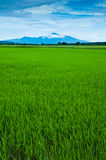 Padi Field. View of a padi field and mountain in the background royalty free stock photos
