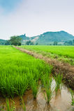 Padi Field. View of a padi field and mountain in the background stock images