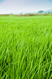 Padi Field. View of a padi field and mountain in the background royalty free stock photography