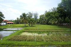 Padi field Stock Photography