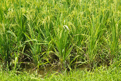 Padi field Stock Photo