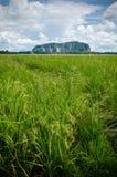 Padi Field And Mountain