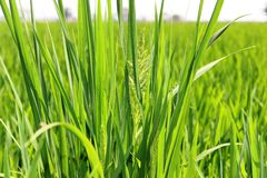 Padi Field closeup Royalty Free Stock Images