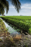 Padi Field. Green padi field in Sekinchan, Selangor Royalty Free Stock Photography