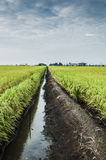 Padi Field. Green padi field in Sekinchan, Selangor Stock Images