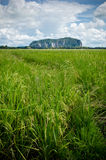 Padi Field and Mountain Royalty Free Stock Image