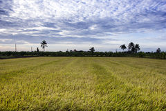 Padi Field, Nakornpathom, Thailand Stock Images