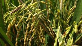 Padi field. In almost harvesting seasons Royalty Free Stock Image