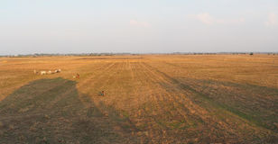 Padi field - Panoramic View. A panoramic view of a Padi field after harvest stock image