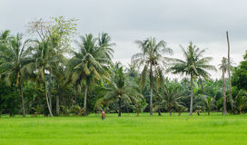 Padi Field. Rice field surrounded by nature Royalty Free Stock Images
