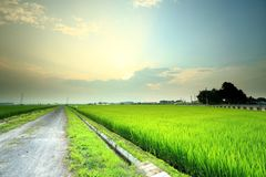 Padi field. Road cutting across padi field royalty free stock photo