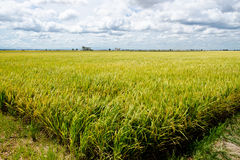 "Padi Field, Sekinchan, Malaysia. Sekinchan, which literally means ""village suitable for plantation"" in Chinese, lives up to its name as the town is the rice Stock Photography"