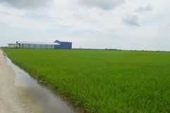 Sekinchan Padi Field. Padi Field in Selangor Malysi Stock Photography