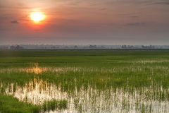 Padi Field sunrise stock photography