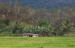 Hut in Padi field, Timor Leste Stock Image