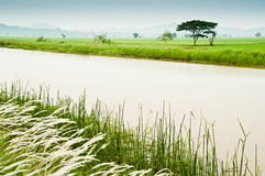 Padi Field and Water Canal Royalty Free Stock Photos
