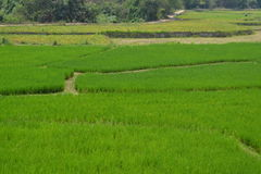 Padi Fields 1 Royalty Free Stock Images
