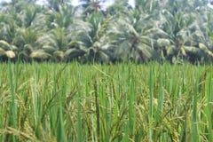 Padi fields. Riped padi field with green grass close up Stock Photo