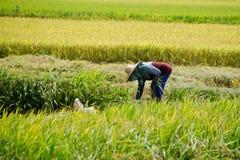 Padi Harvesting, Sekinchan, Malasia Fotos de archivo libres de regalías