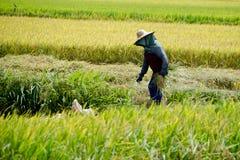 Padi Harvesting, Sekinchan, Malasia Fotografía de archivo