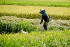 Padi Harvesting, Sekinchan, Malesia Fotografia Stock