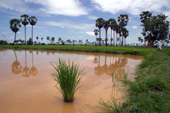 Padi rice fields. A lake in the padi fields in central Cambodia Stock Image