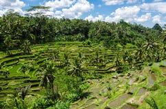 Padi Terrace, Bali, Indonesia Fotografia Stock Libera da Diritti