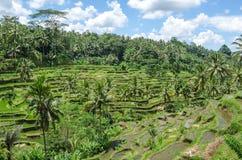 Padi Terrace, Bali, Indonesia Immagine Stock Libera da Diritti