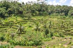 Padi Terrace, Bali, Indonesia Fotografie Stock