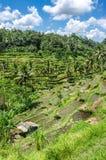 Padi Terrace, Bali, Indonesia Immagini Stock
