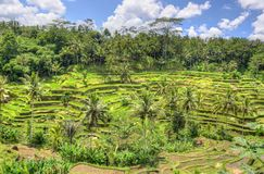 Padi Terrace, Bali, Indonesia - Local plantation of the layered rice terrace in Bali Island, Indonesia.  Royalty Free Stock Photos