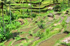 Padi Terrace, Bali, Indonesia - Local plantation of the layered rice terrace in Bali Island, Indonesia.  Stock Photography