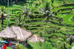 Padi Terrace, Bali, Indonesia - Local plantation of the layered rice terrace in Bali Island, Indonesia.  Royalty Free Stock Photography