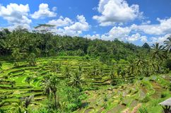 Padi Terrace, Bali, Indonesia - Local plantation of the layered rice terrace in Bali Island, Indonesia.  Stock Image