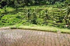 Padi Terrace, Bali, Indonesia Stock Photo