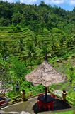 Padi Terrace, Bali, Indonesia - Local plantation of the layered rice terrace in Bali Island, Indonesia.  Royalty Free Stock Image