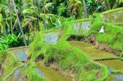 Padi Terrace, Bali, Indonesia - Local plantation of the layered rice terrace in Bali Island, Indonesia.  Royalty Free Stock Photo