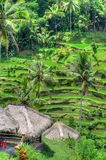 Padi Terrace, Bali, Indonesia - Local plantation of the layered rice terrace in Bali Island, Indonesia.  Stock Images