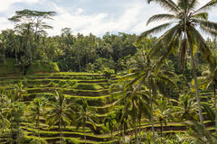 Padi Terrace, Bali, Indonesia - piantagione locale del stratificato Immagine Stock Libera da Diritti