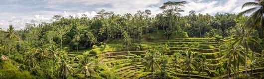 Padi Terrace, Bali, Indonesia - piantagione locale del stratificato Fotografia Stock