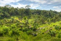 Padi Terrace, Bali, Indonesia - piantagione locale del stratificato Immagini Stock Libere da Diritti