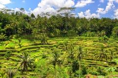 Padi Terrace, Bali, Indonesia - piantagione locale del terrazzo stratificato del riso nell'isola di Bali, Indonesia Fotografie Stock