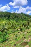 Padi Terrace, Bali, Indonesia - piantagione locale del terrazzo stratificato del riso nell'isola di Bali, Indonesia Fotografie Stock Libere da Diritti