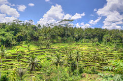 Padi Terrace, Bali, Indonesia - piantagione locale del terrazzo stratificato del riso nell'isola di Bali, Indonesia Fotografia Stock Libera da Diritti