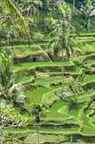 Padi Terrace, Bali, Indonesia - piantagione locale del terrazzo stratificato del riso nell'isola di Bali, Indonesia Immagine Stock
