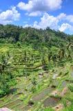 Padi Terrace, Bali, Indonesia - piantagione locale del terrazzo stratificato del riso nell'isola di Bali, Indonesia Immagine Stock Libera da Diritti