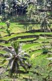 Padi Terrace, Bali, Indonesia - piantagione locale del terrazzo stratificato del riso nell'isola di Bali, Indonesia Immagini Stock