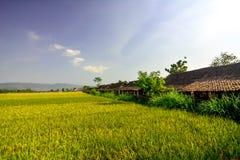 Padi yang subur. Perjalanan menuju ke pedalaman Yogjakarta akan menemukan pemandangan padi yang subur dan indah Stock Photography